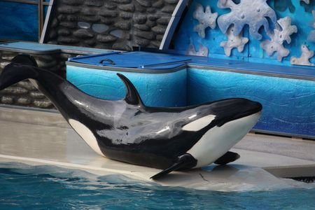 killer whale poses at seaworld Stock Photo