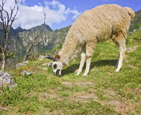 highs: Lonley andean llama eating grass in the highs of the famous landmark Macchu Picchu in Peru, South America.