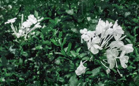 edited photo: Floral manipulated and edited photo of jasmine flowers and green plants in grunge style texture. Stock Photo