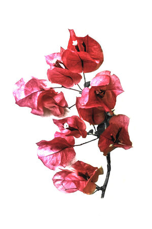 saturated color: Saturated color effect and edited isolated santa rita red flower in white background.