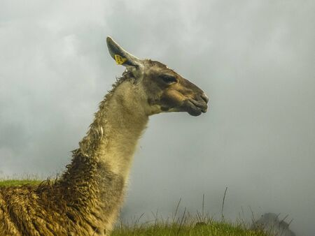 highs: Loneley guanac traditional andes animal side view portrait taken in the highs of the famous landmark of Machu Picchu in Peru, South America.