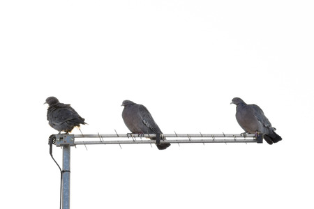 overexposed: Overexposed distant view photo of three doves silhouete in the top of a roof against isolated white background.