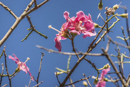 Closeup view of beautiful pink color hibiscus flowers against clean blue sky background. photo
