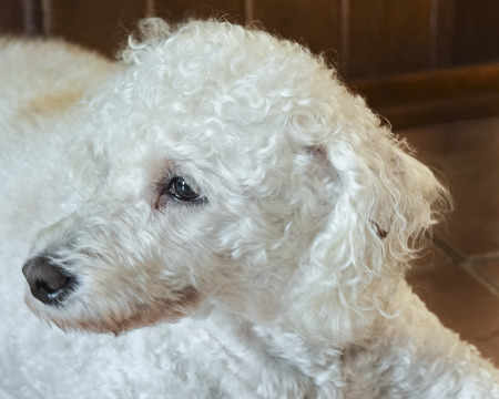 white poodle: Very tender look of white poodle dog in interior room location.
