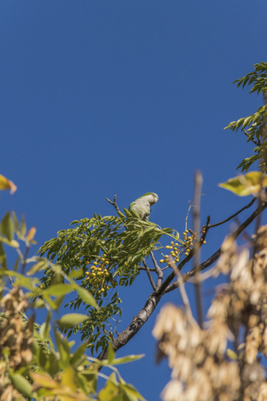 highs: Distant low angle view of little green parrot in the highs of a tree with clean blue sky in background.
