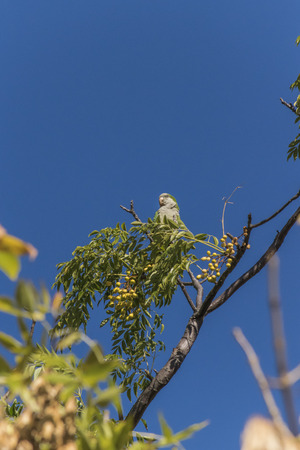 highs: Distant low angle view of little green parrot in the highs of a tree with clean blue sky. Stock Photo