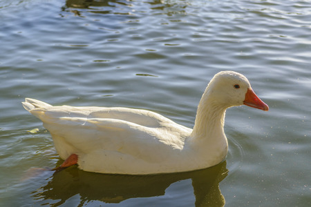 montevideo: Beautiful white goose swimming at lake in a park located in Montevideo; Uruguay Stock Photo