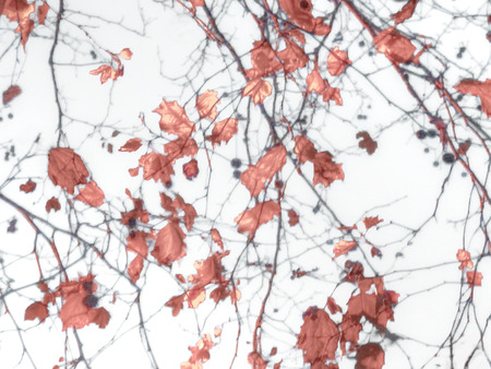 photo manipulation: Photo manipulation and collage digital technique leaves and branches motif nature background in red tones and white background.