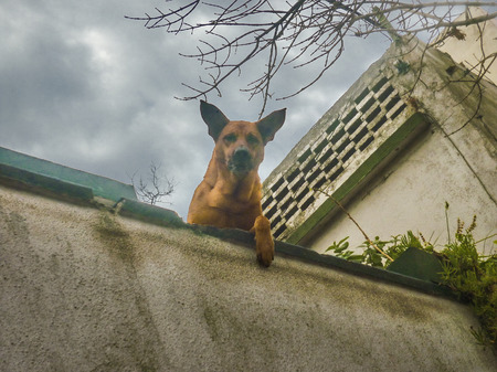 low angles: Low angle view of german shepherd looking the camera with menancing expression from a house roof in a cloudy day. Stock Photo