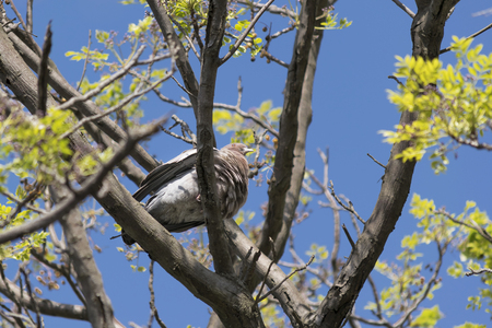 highs: Low angle nature scene of dove at the top of a tree with blue sky at background.