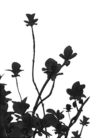 manipulate: Minimalistic style edited nature photo black plants isolated against white background.