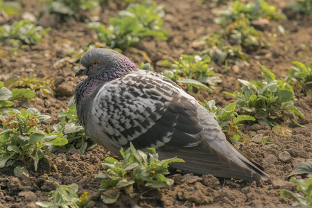 lonley: Side close up view of lonley dove sitting in the ground. Stock Photo