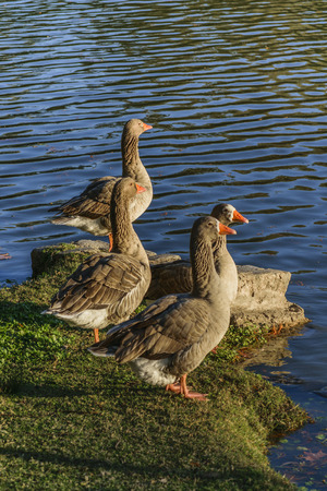 water fowl: Beautiful group of dark geese at lake in a park of Montevideo, Uruguay