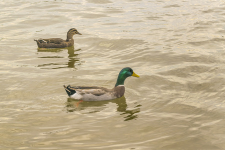 two ducks: Two ducks swimming at the santa lucia river in the outsides of Montevideo in Uruguay