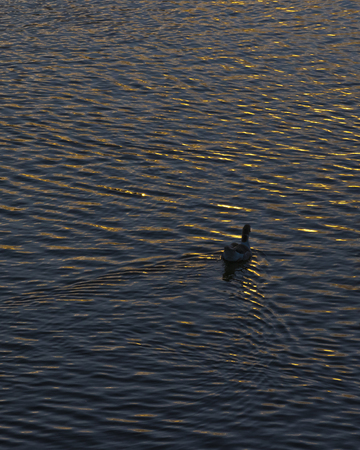 Lonely duck swimming at lake in parque rodo park at sunset time in Montevideo, Uruguay.