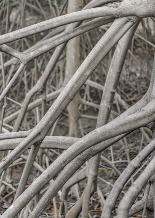 guayaquil: Closeup view of a bunch of mangrove branches pattern at historic park of Guayaquil, Ecuador Stock Photo