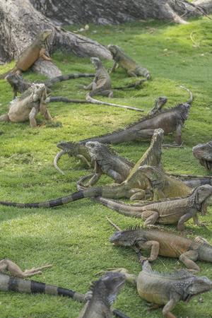 parque: Iguanas at Parque centenario, Guayaquil Ecuador