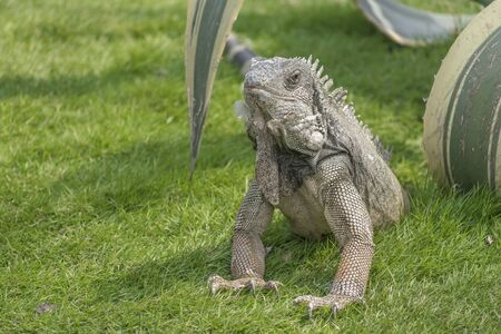 guayaquil: Iguana at Iguanas park, a touristic attraction located in the downtown of Guayaquil, Ecuador Stock Photo