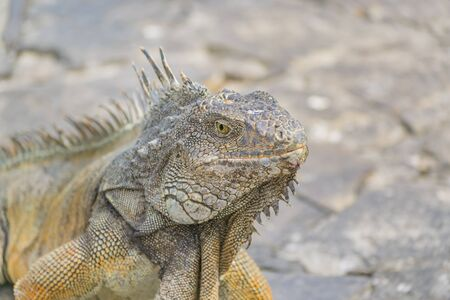 guayaquil: Closeup view of iguana at Iguanas Park, a touristic attraction located in the downtown of Guayaquil, Ecuador Stock Photo