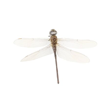 dragon fly: Top view of dragon fly insect isolated in white background Stock Photo