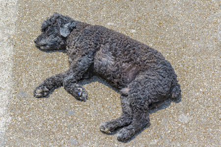 woolly: High angle shot of petit woolly black street dog slepping on the ground Stock Photo