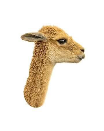 over white: Side view vicuna face isolated over white