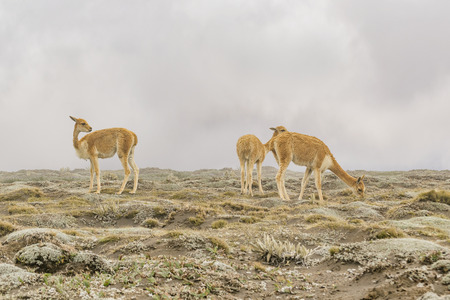wheater: Group of vicunas at chimborazo park in a foggy morning, Ecuador, South America Stock Photo