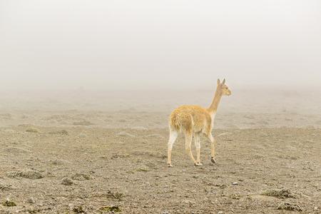 wheater: Vicuna at chimborazo park in a foggy morning, Ecuador, South America