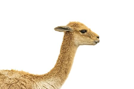 Side view vicuna face isolated over white