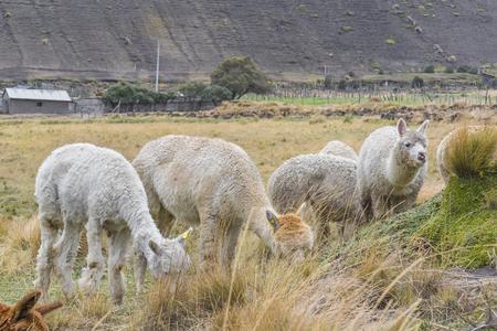 america countryside: Group of llamas and alpacas eating pasture at countryside at Chimborazo district, Ecuador, South America
