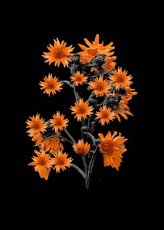 photo manipulation: Digital photo manipulation technique flowers in high contrast tones isolated over black background Stock Photo