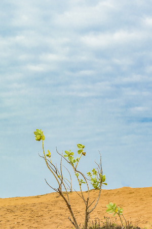 low angle views: Minimalistic style photo of a bunch of plants against dune and cloudy blue sky background in Jericoacoara Brazil