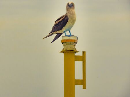 Famous exotic bird with blue foots standing at top of column at ocean in Salinas, Ecuador