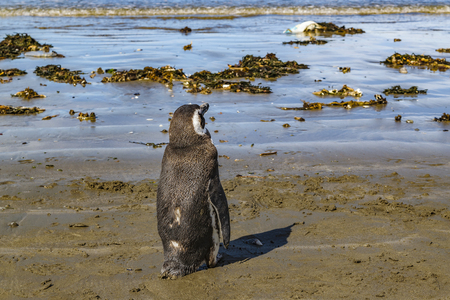 rada: Lonely penguin standing at beach near shore in Rada Tilly, a seaside resort located in Chubut, Argentina