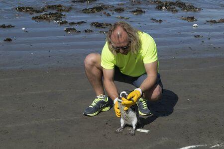 rada: RADA TILLY, ARGENTINA, MARCH - 2016 - Vet inspecting emperor pengiun at shore of beach in Rada Tilly, a seaside resort located in Chubut, Argentina Editorial
