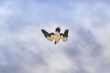 Low angle shot austral patagonian bird flying Stock Photo