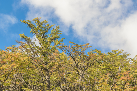 Low angle view of big slim forest tree at Patagonia, Argentina Stock Photo
