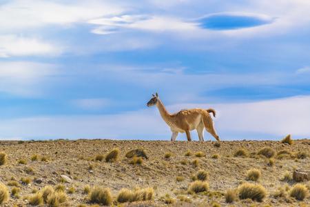 サンタクルス州、アルゼンチンのパタゴニア平原地形で野生のグアナコ
