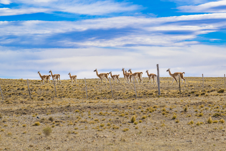 Group of wild guanacos at patagonia plain terrain in Santa Cruz,