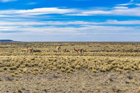 Group of wild guanacos at patagonia plain terrain in Santa Cruz province, Argentina