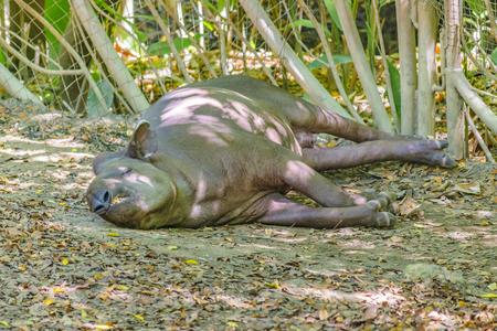 Adult tapir resting at zoo in Guayaquil historic park, Ecuador