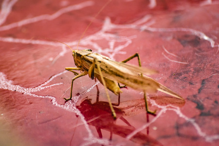 Close up view locust insect over house floor in Guayaquil, Ecuador