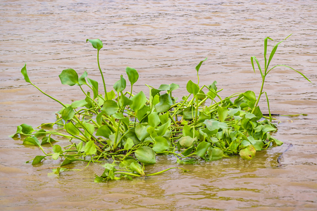 Bunch of green plants floating ar babahayo river, Guayaquil, Ecuador Stock Photo