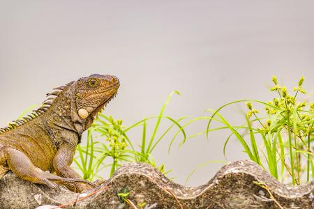 Adult iguana at shore of river in Guayaquil, Ecuador
