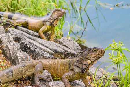 Two iguanas at shore of river in Guayaquil, Ecuador Stock Photo