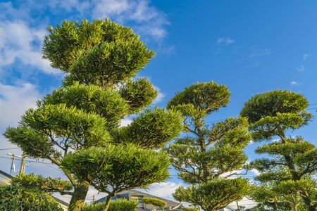 Low angle shot beautiful big trees over sunny blue sky background, yamaguchi, japan