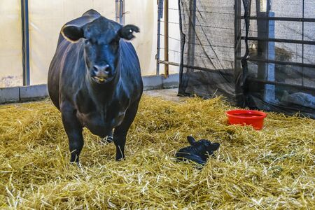 Big mother cow and newborn at traditional rural exhibition at prado neighborhood in montevideo city, uruguay Banco de Imagens
