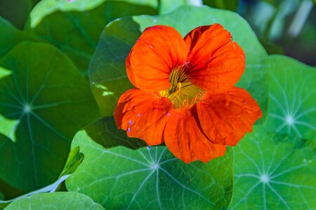 Beautiful big orange flower surrounded by green plants