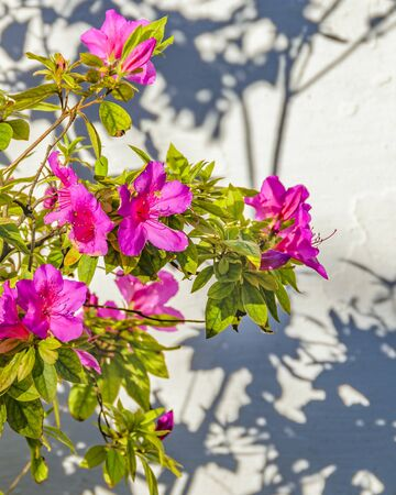 Beautiful pink flowers and green plants over exterior wall background