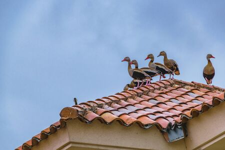 Low angle shot group of ducks standing at top of mansion house in samborondon district, guayas, ecuador Stock Photo